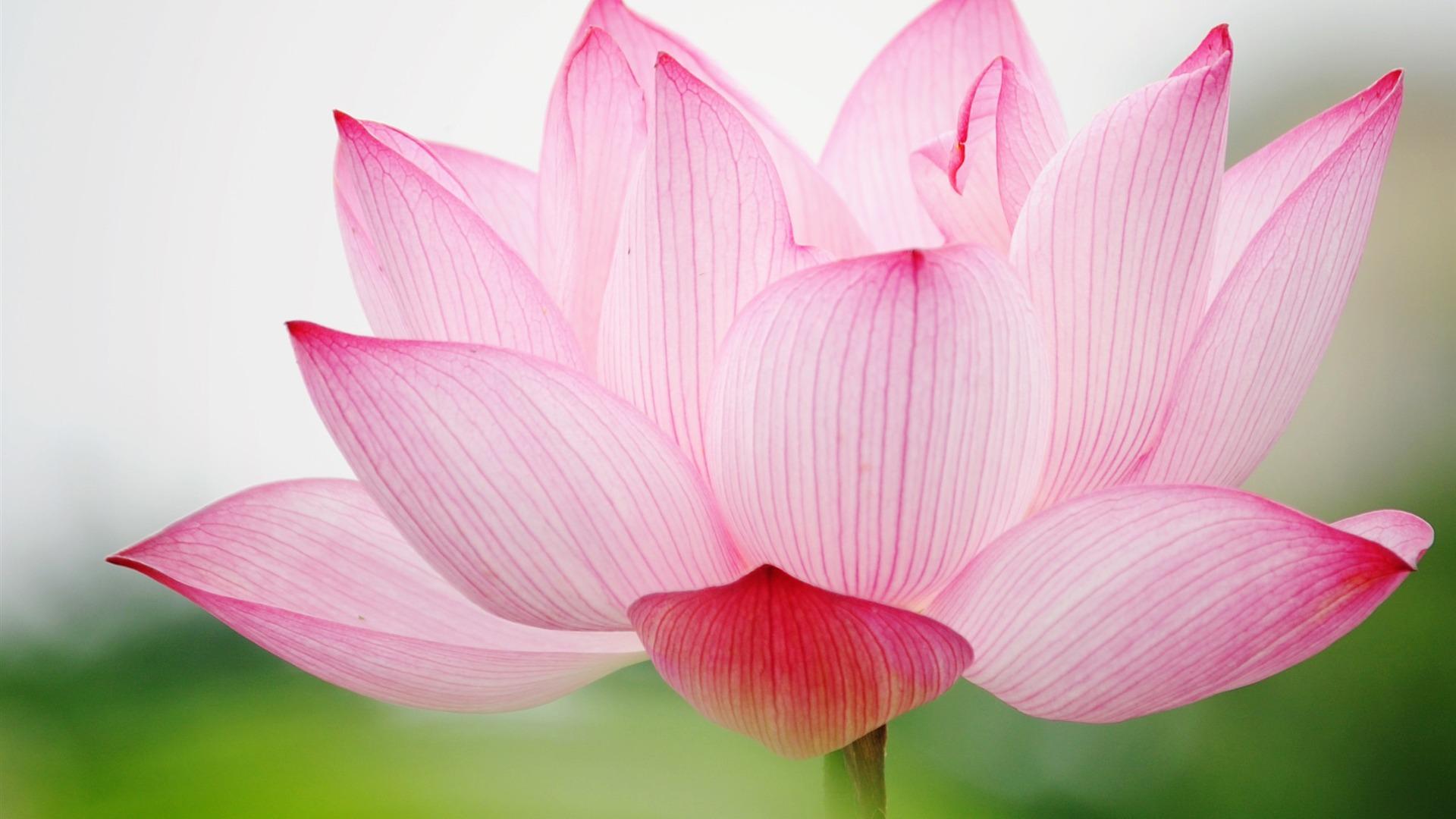Zen Fleur de lotus 1